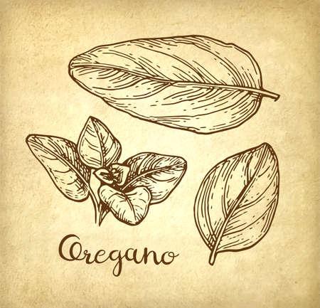 Oregano ink sketch. Ilustração