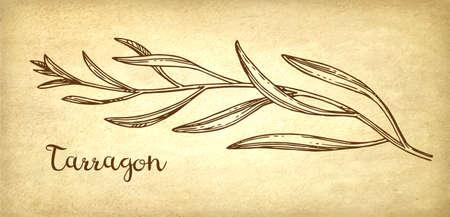 古い紙の背景にタラゴン インク スケッチ。手には、ベクター グラフィックが描画されます。レトロなスタイル。 写真素材 - 90581884