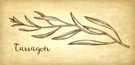 Tarragon ink sketch on old paper background. Hand drawn vector illustration. Retro style. Ilustracja