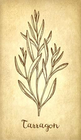 Tarragon ink sketch. Zdjęcie Seryjne