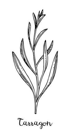 タラゴン インク スケッチ。  イラスト・ベクター素材
