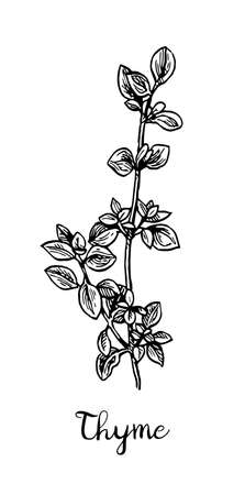 Thyme ink sketch.