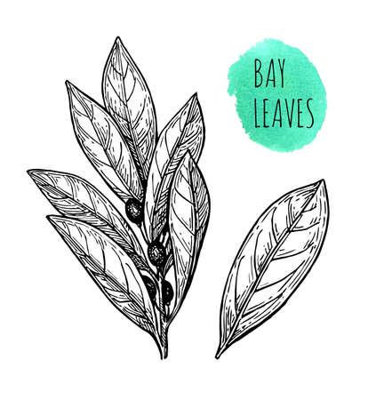 Ink sketch of bay leaves.