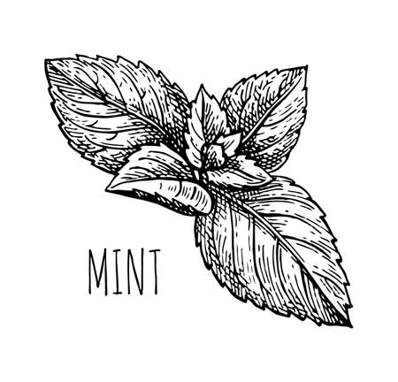 Ink sketch of mint. 版權商用圖片 - 91000989