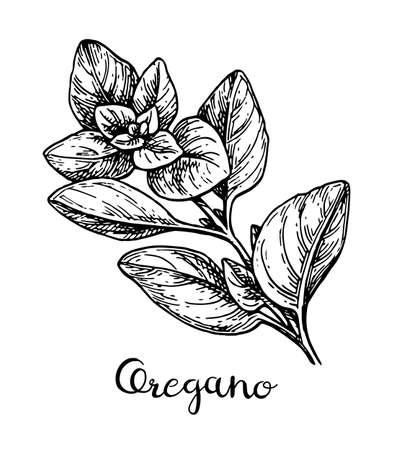 Oregano ink sketch.  イラスト・ベクター素材
