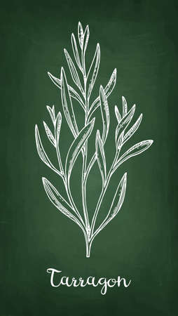 Tarragon chalk sketch.