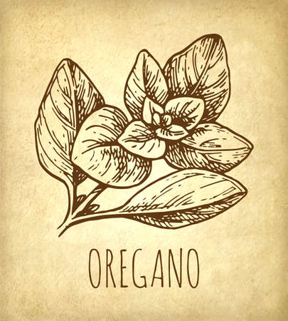 Oregano ink sketch. Ilustrace