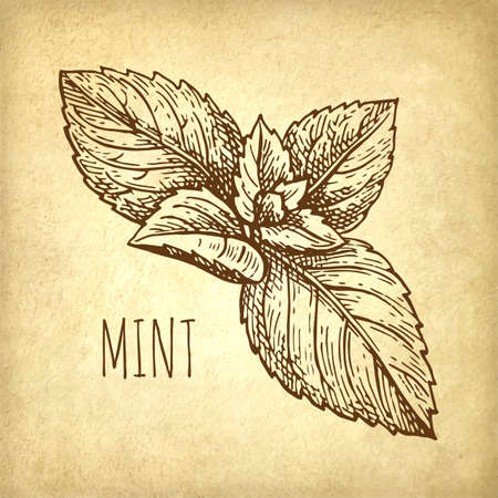 Ink sketch of mint