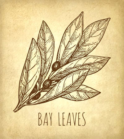 Ink sketch of bay leaves.