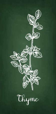 Krijtschets van tijm, Hand getrokken vectorillustratie