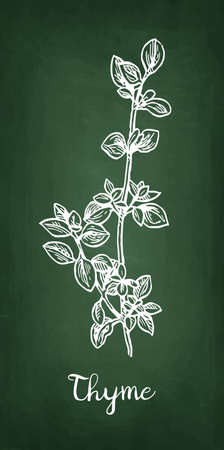 Chalk sketch of thyme, Hand drawn vector illustration
