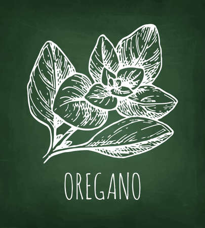 Oregano. Chalk sketch on blackboard background. Hand drawn vector illustration. Retro style.