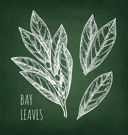 Bay leaves. Chalk sketch on blackboard background. Hand drawn vector illustration. Retro style.