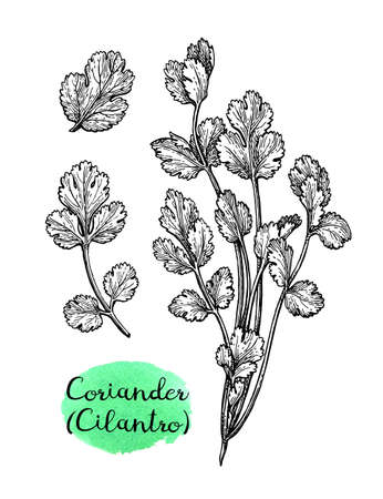 Coriander, also known as cilantro or Chinese parsley. Ink sketch set isolated on white background. Hand drawn vector illustration. Retro style. 向量圖像