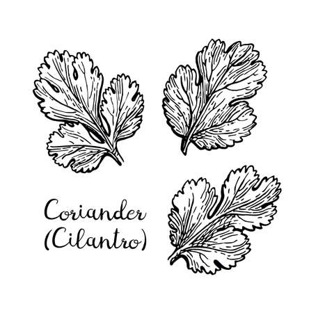 Coriander, also known as cilantro or Chinese parsley. Ink sketch set isolated on white background. Hand drawn vector illustration. Retro style. Çizim