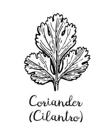 コリアンダー, また、シラントロや中国のパセリとして知られています.白い背景に分離されたインク スケッチ。