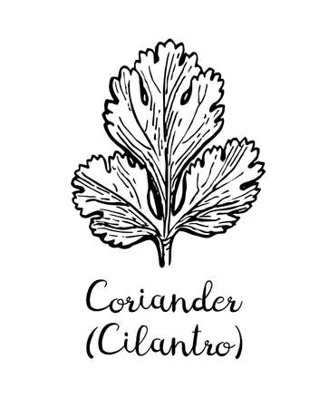 Coriander, also known as cilantro or Chinese parsley. Ink sketch isolated on white background.