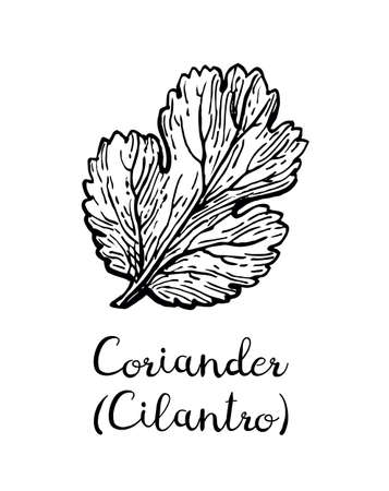 Coriander, also known as cilantro or Chinese parsley. Ink sketch isolated on white background. Hand drawn vector illustration. Retro style.