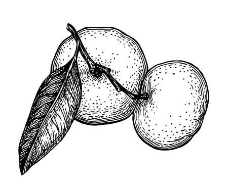 Ink sketch of mandarin orange. Isolated on white background. Illustration