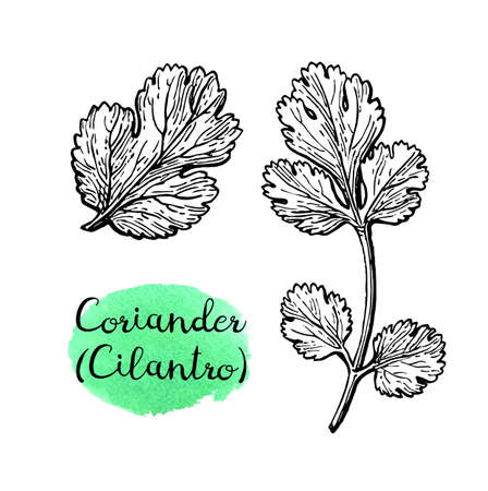 Coriander also known as cilantro or Chinese parsley. Ink sketch set isolated on white background. Hand drawn vector illustration. Retro style. 向量圖像