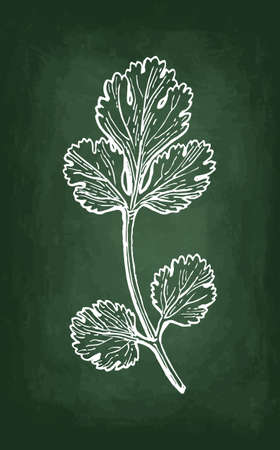 Coriander, also known as cilantro or Chinese parsley. Chalk sketch on blackboard background. Hand drawn vector illustration. Retro style.