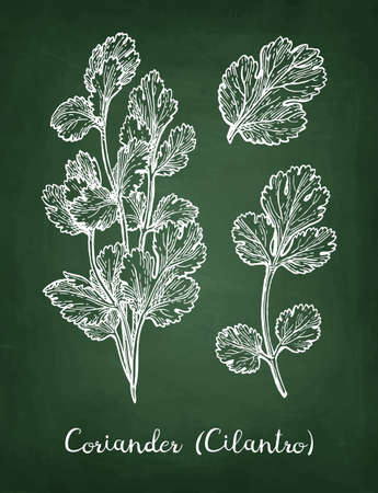 Coriander also known as cilantro or Chinese parsley. Chalk sketch on blackboard background. Hand drawn vector illustration.