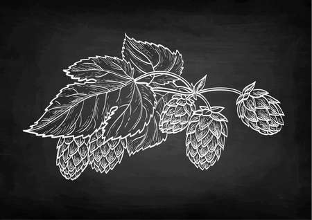 Chalk sketch of hops on blackboard background. Hand drawn vector illustration. Retro style.