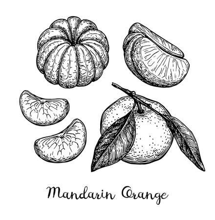 マンダリンオレンジセット。白い背景に分離されたインク スケッチ。●手描きベクトルイラスト。レトロなスタイル。