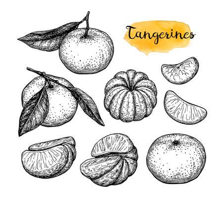 Ink sketch of tangerines. Illustration