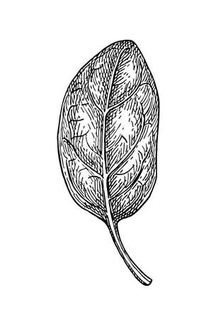 Ink sketch of spinach. Isolated on white background. Hand drawn vector illustration. Retro style. Ilustração