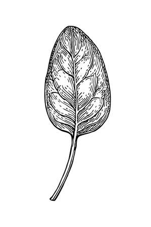 Ink sketch of spinach. Isolated on white background. Hand drawn vector illustration. Retro style. 向量圖像