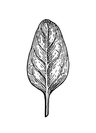 시금치의 잉크 스케치입니다. 흰색 배경에 고립. 손으로 그린 된 벡터 일러스트 레이 션. 복고 스타일입니다.