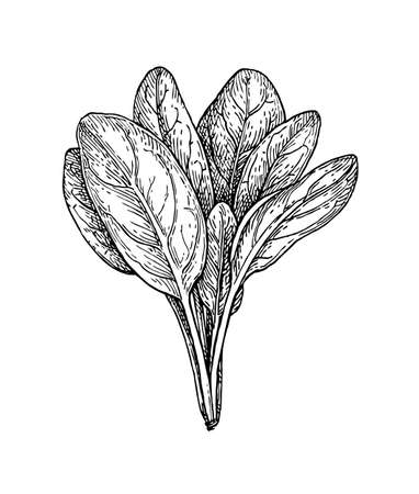 Ink sketch of spinach. Isolated on white background. Hand drawn vector illustration. Retro style. Vettoriali