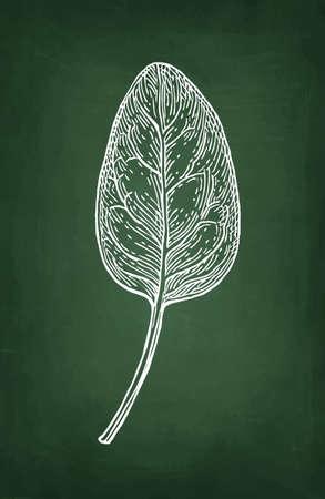 Chalk sketch of spinach. 向量圖像