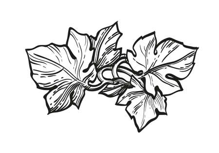 Ink sketch of grape leaves. 向量圖像