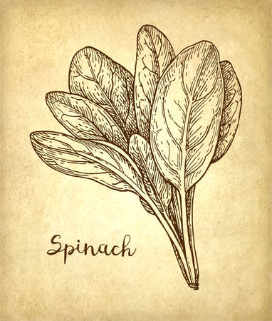Ink sketch of spinach  isolated on plain  brown  background.