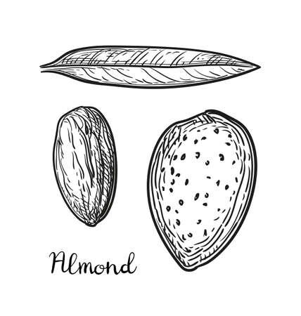 Ink sketch of almond illustration.
