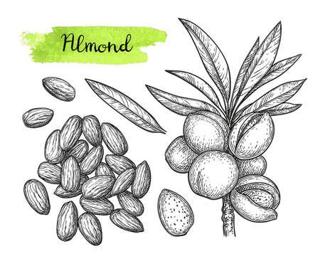 아몬드 일러스트의 잉크 스케치입니다. 스톡 콘텐츠 - 98534051