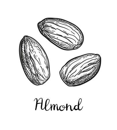 Ink sketch of almond. Vector illustration.