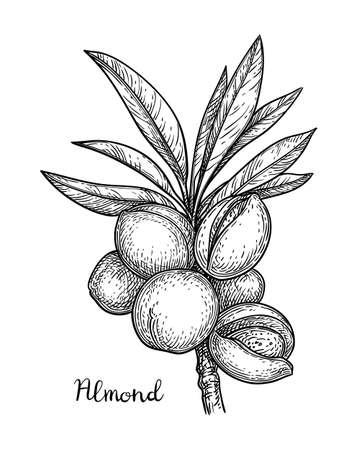 아몬드 일러스트의 잉크 스케치입니다. 스톡 콘텐츠 - 98534052