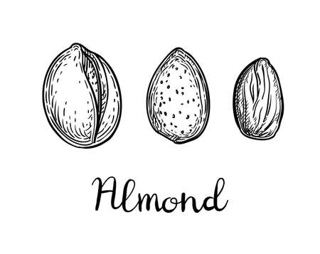 Ink sketch of almond illustration.