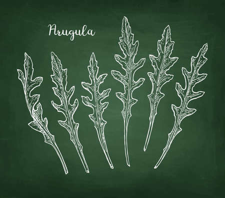 Chalk sketch of arugula on blackboard background. Hand drawn vector illustration. Retro style.