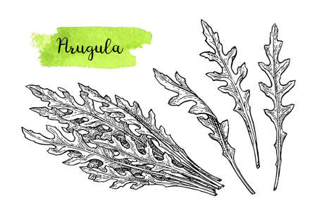 Ink sketch of arugula. Isolated on white background. Hand drawn vector illustration. Retro style.