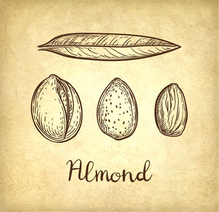 Ink sketch of almond isolated  on light background.