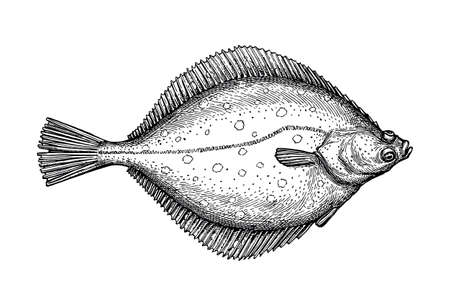 Ink sketch of flounder. Stock Illustratie