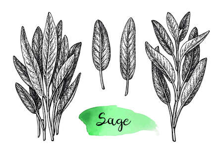 Sage ink sketch  isolated on plain background.