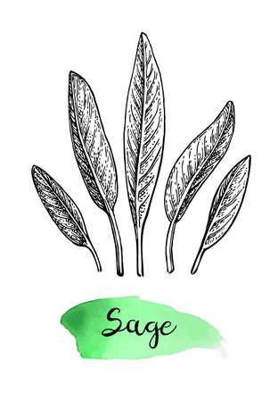 Sage ink sketch. Illustration