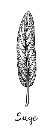 Sage ink sketch  isolated on plain background. Banco de Imagens - 100778672