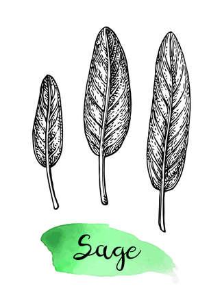 Sage ink sketch.  イラスト・ベクター素材