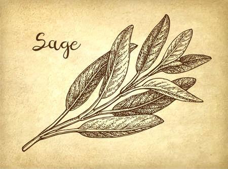 Sage ink sketch Standard-Bild - 101207631